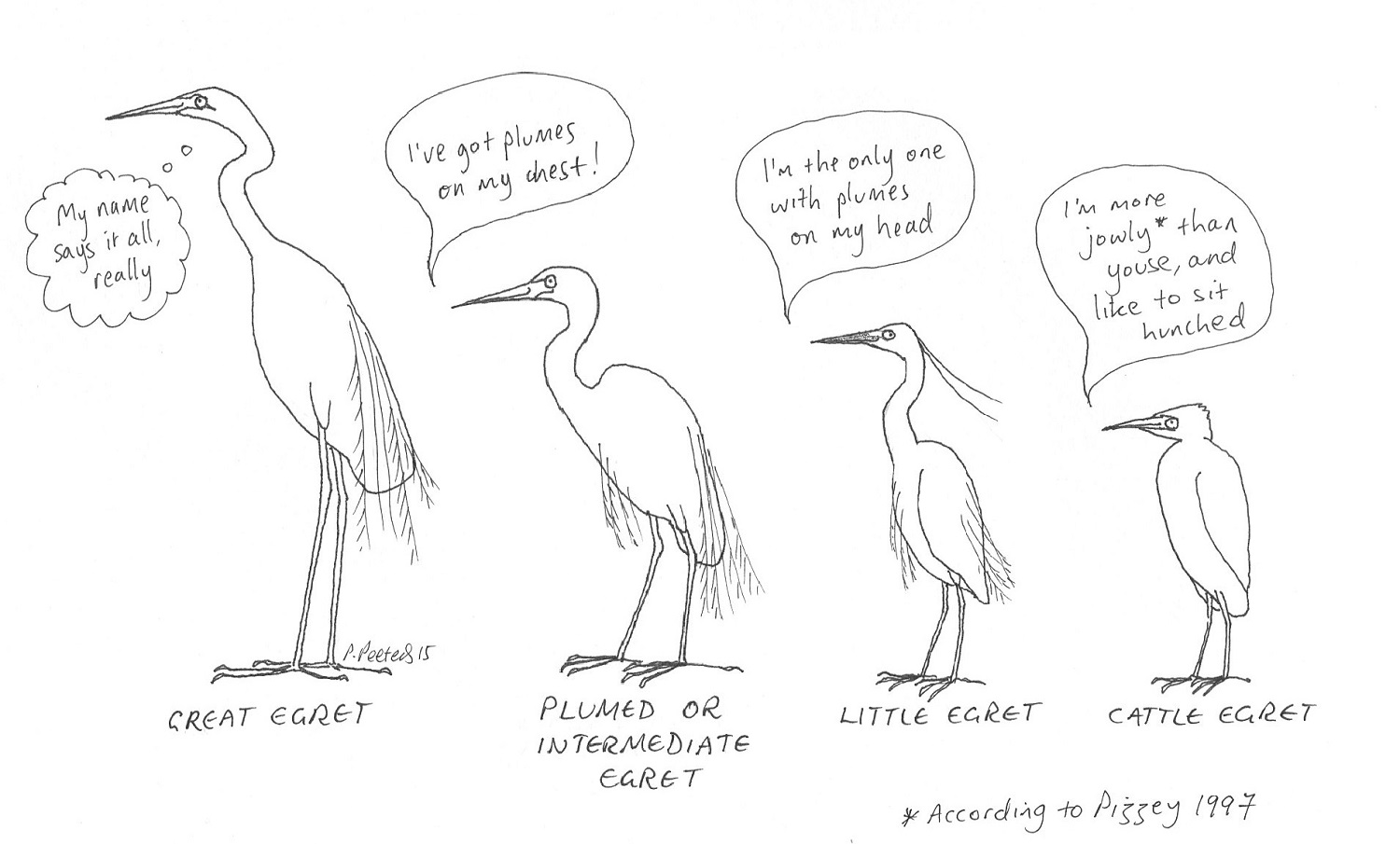 Four of the five egret species found in Australia (the reef egret is missing). The first three are in breeding plumage.