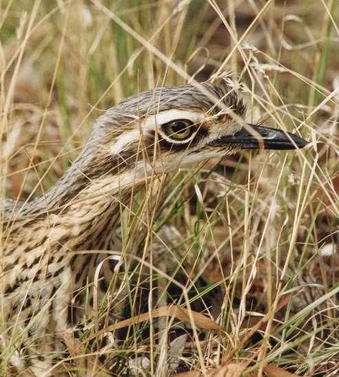 Bush stone curlew_small